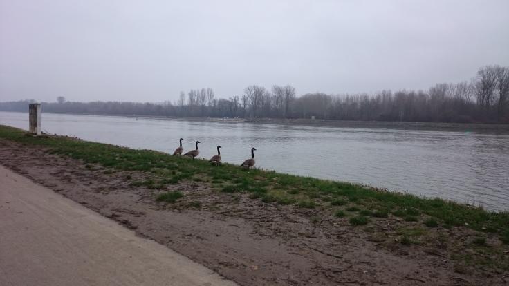 Wandertipp_Croissant_Elsass_Beinheim_Rheinufer mit Enten